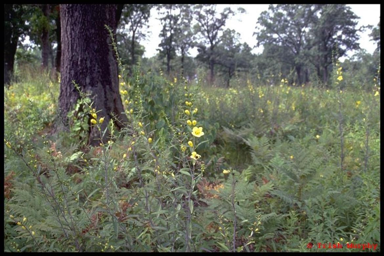 Black oak savannah, Ojibway Prairie, Windsor, Ontario