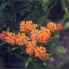 Butterfly milkweed, Pleurisy root, Asclepias tuberosa