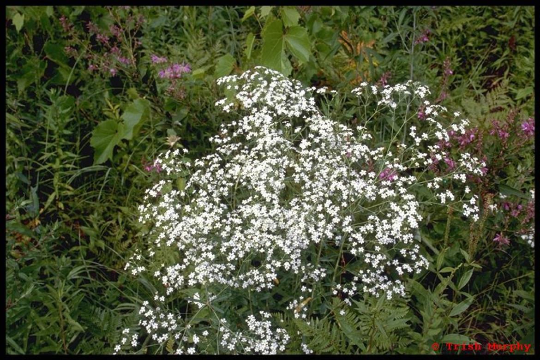 Flowering spurge, Euphorbia corollata