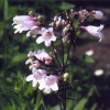 Penstemon, Penstemon digitalis