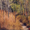 Sand prairie with little bluestem, Indian grass, and burnt trembling aspen, Dickson Tract, Ontario