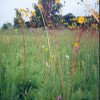 Tall grass prairie with prairie dock, Walpole Island