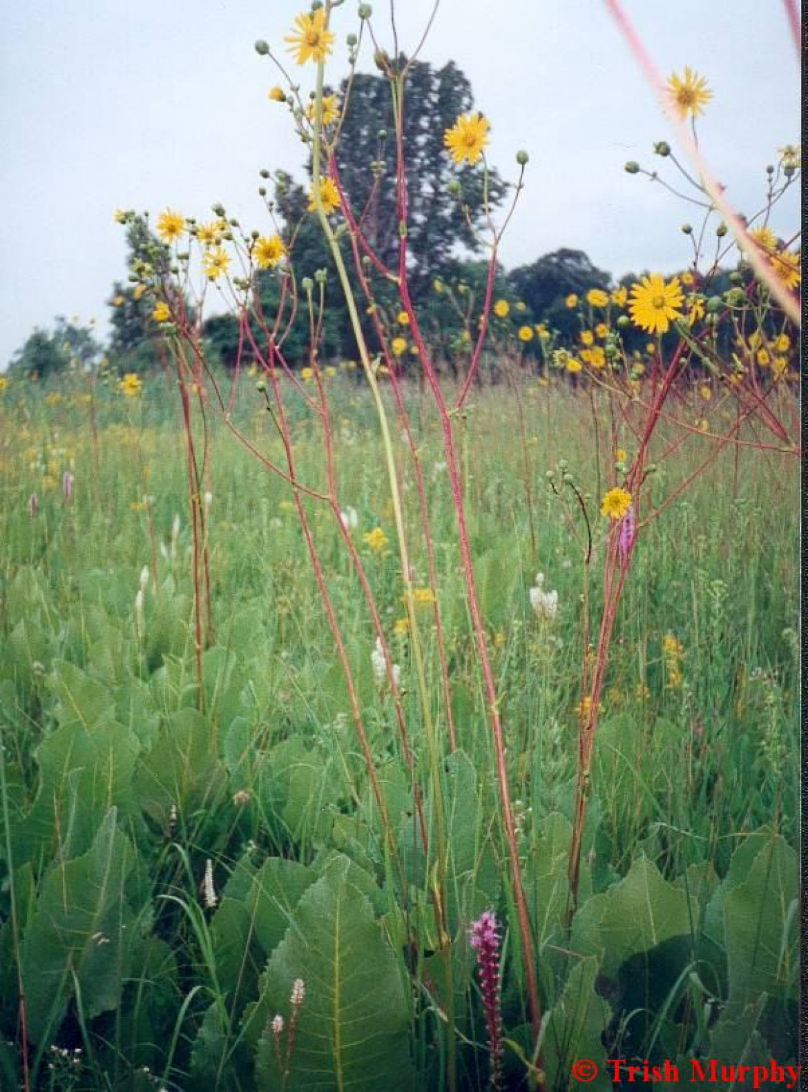 Tall grass prairie with prairie dock, Walpole Island