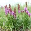 DenseBlazing Star