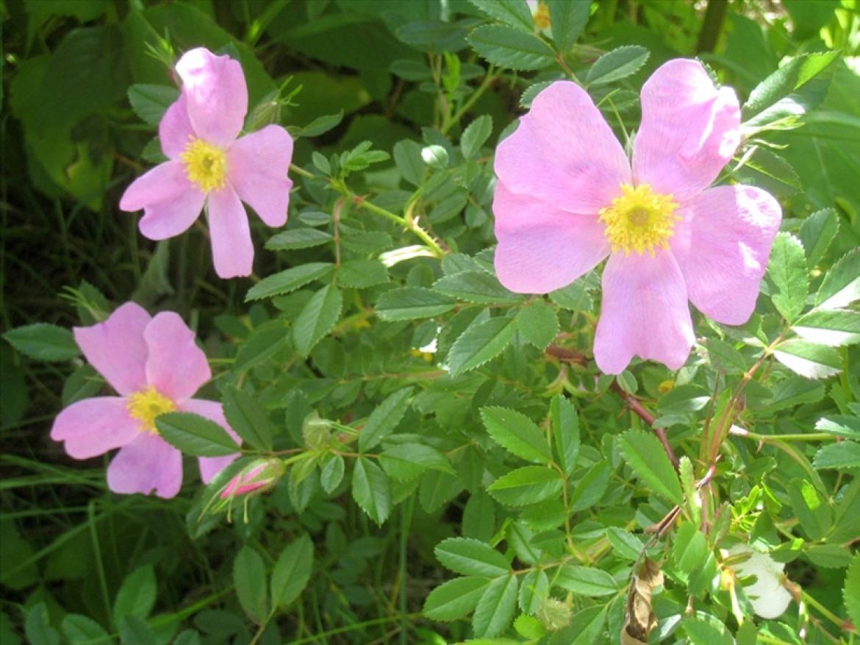 Smooth Rose, Rosa blanda