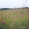 Tall grass prairie with blazing star and culvers root, Walpole Island