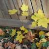 Little Norway Maple
