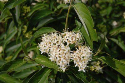 Cornus amomum  ssp. obliqua