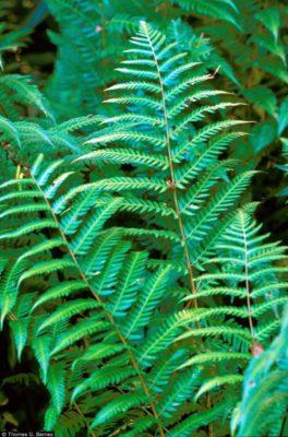 Dryopteris goldiana