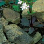 Hedyotis longifolia