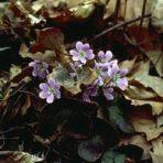 Hepatica nobilis var. obtusa