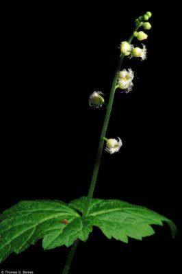 Mitella diphylla