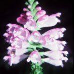 Physostegia virginiana