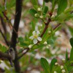 Prunus pumila var. pumila