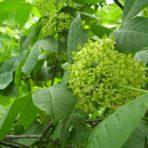 Ptelea trifoliata