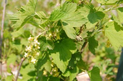 Ribes americanum