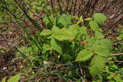 Rubus strigosus