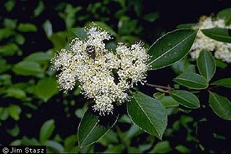 Viburnum cassinoides